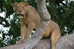 Stakeholders meet to tackle dire state of lion numbers in QENP and the increasing threats from Humans